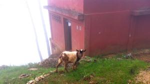 haiti kenscoff goat