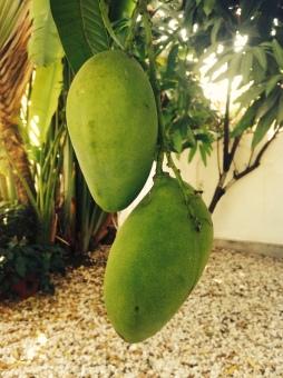 two mangos