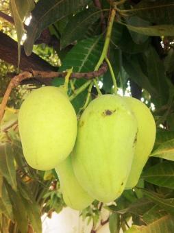 bunch of haitian mangos